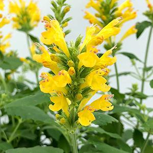 Anise Hyssop Poquito Butter Yellow  - Agastache hybrid -  lg pot
